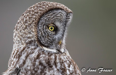 A pretty pose (Anne Marie Fraser) Tags: great gray owl grey greatgrayowl greatgreyowl nature wildlife raptor wild bird pose pretty