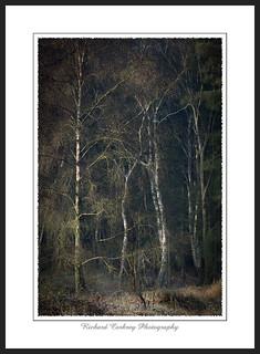 Birchlight