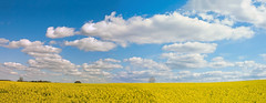 Fluffy Cloud Panorama, (Explored) (The Rustic Frog) Tags: midlands uk england central warwickshire camera canon digital powershot g15 panorama 2 two photos linked together field rape seed rapeseed oilseed oil bloom yellow clouds sky trees tree wide bright