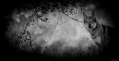La peau de chagrin.... (Pilouchy) Tags: peau chagrin monochrome noir blackandwhite free life vie regard conte legend histoire wood foret wild lumiere bellissima regret eyes yeux