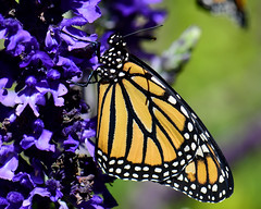 HAPPY DAY, EARTH!! :)  ... Earth Day-- April 22, 2017 (all one thing --Earth Day-April 22, 2017) Tags: earthdayapril222017 earthday earth lovetheearth mothernature motherearth monarch monarchbutterfly newlyemergedmonarch butterfly salvia danausplexippus thankyou nature