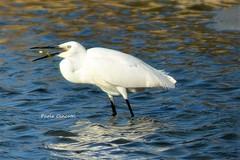 DSC_6717 (paolacincotti) Tags: bird birds oiseau oiseaux stagno porto pino water sardegna trampolieri fenicottero rosa allaperto garzetta