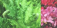 108/365 spring colors (SarahLaBu) Tags: farn fern blumen flowers pink green grün spring frühling 365the2017edition 3652017 day108365 18apr17 iphone6s diptych diptychon