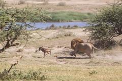 Newborn Wildebeest realises its miskake as  large male lion charges in... (Hector16) Tags: africa marshpride nomad safari outdoors tanzania ndutu drought wildlife serengeti shinyangaregion tz lion pantheraleo wildebeest calf newborn predator hunt baby