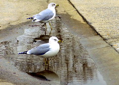 Manhattan Beach at Winter. Gulls Still Here (dimaruss34) Tags: newyork brooklyn dmitriyfomenko image winter manhattanbeach bird birds gull reflection