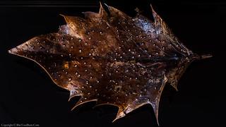 Phacidium lauri on holly leaf