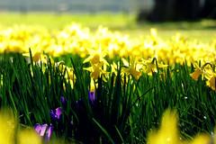Spring! (skoop102) Tags: flowers daffodil daffodils crocus crocuses yellow warwickshire coventry coombe coombeabbey coombeabbeycountrypark coombecountrypark spring sunshine
