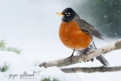 Robin in the snow storm. (nature55) Tags: robin american birds aves migration snow winter wisconsin