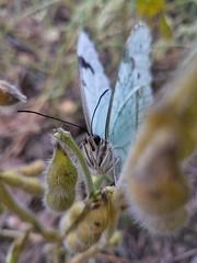 Que olhos grandes você tem 😉 (Paulo Mattes) Tags: butterfly borboletas borboleta boatarde flowers flores flower flor soja nature naturelovers natureza brasil br rs