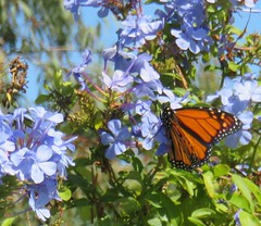 Monarch (Kalmagic !) Tags: australia western westernaustralia plumbago