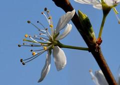Blossom (rustyruth1959) Tags: nikon nikond3200 sigma105mmmacro uk hollingworthlake outdoor blossom petals stamen branch bud blue sky macro countrypark tree twig nature flower plant leaf