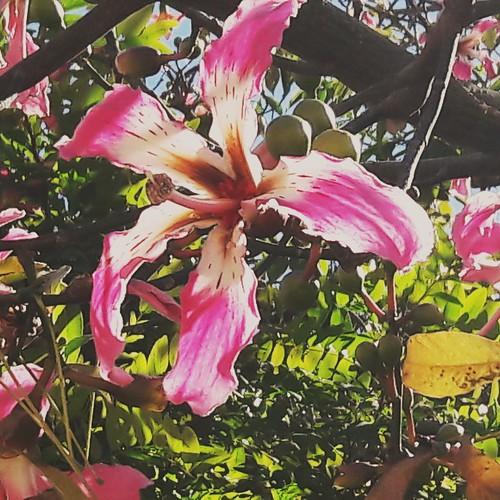 Flor del palo borracho