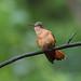 A87A9539 Cinnamon hummingbird