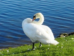 Posing Swan, Hogganfield Loch, Glasgow, April 2017 (allanmaciver) Tags: swan bird colours pose beautiful graceful water green blue glasgow hogganfiled loch stepps local nature reserve allanmaciver