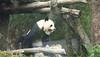 動物園_348 (Taiwan's Riccardo) Tags: 2014 taiwan digital color dslr nikond600 nikonlens afs nikkor zoom 18200mmf3556 vr 台北市 木柵 動物園 熊貓 panda 團團