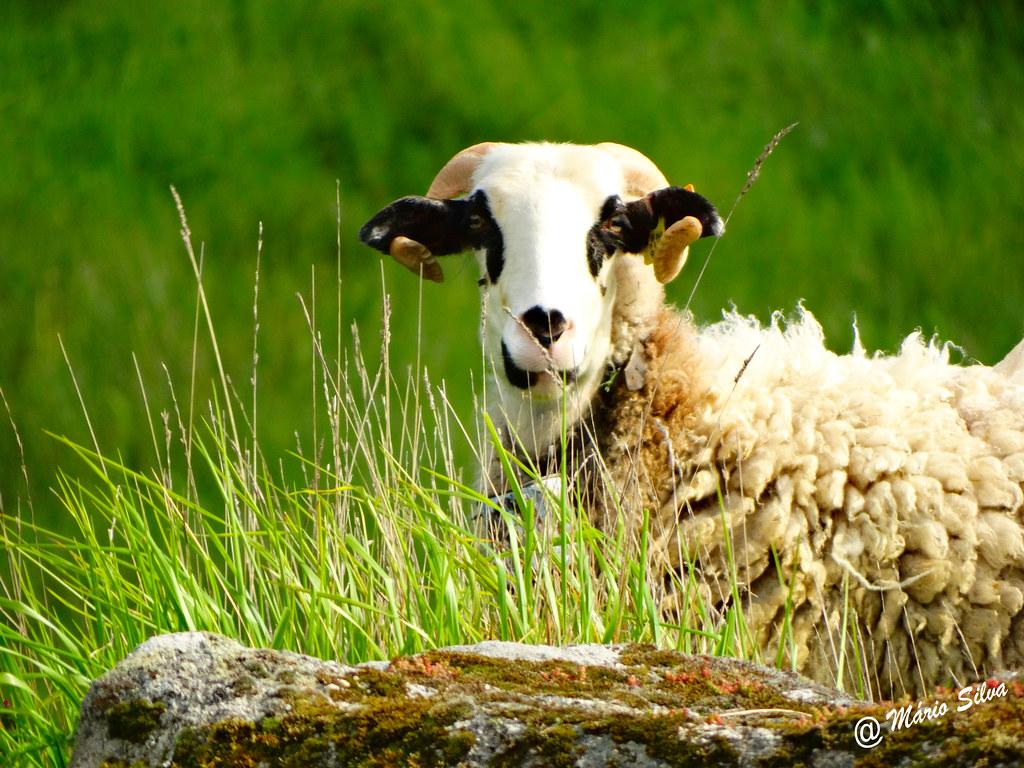 Águas Frias (Chaves) - ...carneiro curioso ...