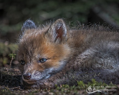 Fox Kit lapping up the sun (Chris St. Michael) Tags: foxkit kit fox animal nature cute baby wildlife redfox