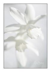 White narcissus (Gies!) Tags: spring flowers narcissus white elegance fragile bloemen voorjaar narcis