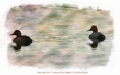 Redhead duck (NancySmith133) Tags: redheadduck merrittislandnationalwildliferefuge blackpointwildlifedrive centralfloridausa nationalparks