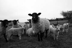 Herd of Sheep (Megan Tregoning) Tags: herd suffolk farming countryside ewe lamb spring animal baby