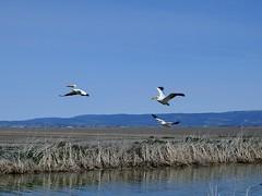 American White Pelicans (BriarCraft) Tags: americanwhitepelican bird pelican water