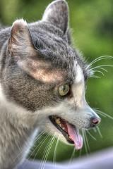 Dog & Cat Morph (swong95765) Tags: animalart catdog cute hybrid bokeh unusual genetics experiment