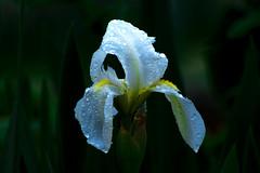 Siberian Iris : in The Rain : 雨に濡れるアヤメ (Dakiny) Tags: 2017 spring april japan kanagawa yokohama aoba ichigao outdoor nature field park plant tree flower iris siberianiris bokeh white nikon d7000 tamron 70300mm sp70300mmf456divcusd a005 modela005 nikonclubit