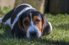 IMG_8279 (BFDfoster_dad) Tags: basset hound puppy