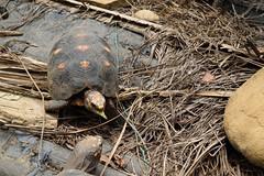Aun hay tiempo (paopradar) Tags: fauna animal vida tortoise slow tortuga comiendo hábitat habitat