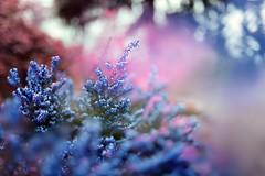 pastel (coral staley-hall) Tags: flowers purple nature heather pnw arboretum canon 6d 35l 35mm 14l lseries