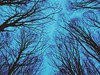 Trees from below (maellevanrell) Tags: trees forest dark scary horror creepy cold blue deepblue night evening twilight