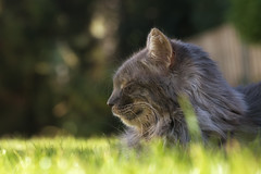 Dreaming (FocusPocus Photography) Tags: fynn fynnegan katze kater cat chat gato tier animal haustier pet rasen lawn gras grass garten garden
