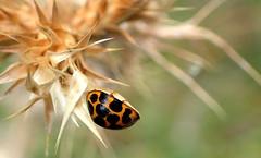 A Ladybird in FANTASY BOKEH (Lani Elliott) Tags: macro bokeh ladybird upclose closeup nature naturephotography insect spots macrounlimited