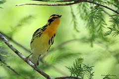 9099 Blackburnian Warbler (Dendroica fusca) (andykjordan) Tags: blackburnianwarbler dendroicafusca smith oaks high island texas audubon bird