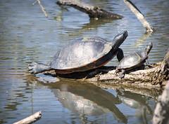 Sunbathing Turtles (Alexander Day) Tags: turtle turtles fauna reptiles reptile animal animals pond water log alex alexander day