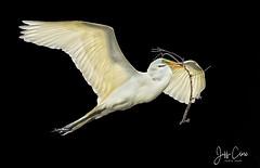 White on Black Flight (Jeff Clow) Tags: 2017 dallas jeffclowphototours march mothernature texas animalbehavior animals avian beautyinnature birding birds rookery wild wildlife