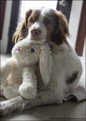 4-12 Eva - the coveted bunny (Dave (www.thePhotonWhisperer.com)) Tags: eva 12monthsforeva bunny easterbunny happyeaster 12monthsfordogs brittanyspaniel brittany