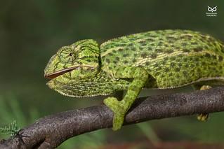 Camaleão, Common chameleon (Chamaeleo chamaeleon)