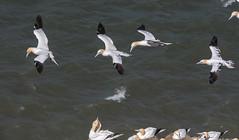 DSC_3613 (Adrian Royle) Tags: yorkshire flamborough bemptoncliffsrspb rspb nature wildlife bird birds gannet gannets seabirds sea cliff coast colony flying wings feathers nikon