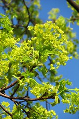 green flowers :) (green_lover) Tags: maple blossom flowers tree branches spring nature plants green up