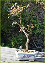 Azalee (sinepo) Tags: bonsai topf baum schale wachsen klein sonne frühling azalee blüten