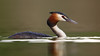 Podiceps cristatus-a (onlywildshots) Tags: