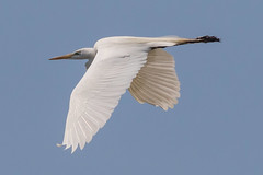 Great Egret Takes Flight-17 (Scott Alan McClurg) Tags: aalba ardea ardeidae flickr animal back backyard bird bluesky flap flapping flight fly flying greategret land landing life nature naturephotography neighborhood portrait spring suburban urban white wild wildlife