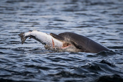 Mouthfull (Ginger Snaps Photography) Tags: bottlenose dolphin chanonry sealife wild wildlife wildandfree canon sigma nature salmon fish fishing food catch