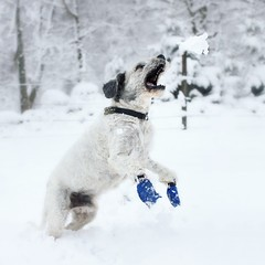 Atlas in catching Easter snow (*hassedanne*) Tags: easter winter snow pon dog