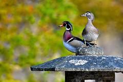 Wood Duck Pair on Stone Lantern (Aurora Santiago Photography) Tags: seajpnsgarden woodduck pair seattlejapanesegarden stonelantern