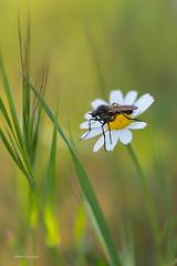 Primavera a tope (RamónP) Tags: spring primavera primavera2017 insectos flor margarita blossom mosquito macro macrofotografía macrophotography fotografíamacro tamron90mmf28 animal airelibre bokeh nikond750 marmolejo sierradeandujar
