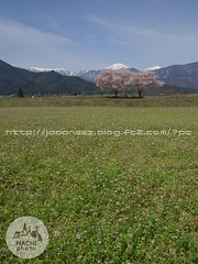 (finalistJPN) Tags: azumino shinshu japanalps springscene springview panorama discoverychannel nationalgeographic lonelyplanet planetearth naturephoto visitjapan tripjapan discoverjapan cherryblossom japanguide stockphoto pleasepurchaseallpictures ppap japanphoto