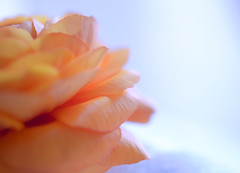 view from the other side (brennapear) Tags: ranunculus peach spring bloom flower fleur soft