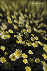 Desert Dandelions (Kevin B Photo) Tags: kevinbarry desertdandelions joshuatreenationalparkcalifornia yellow native natural nature desert spring springtime wildflowers